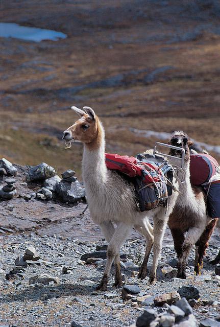 Working llamas on the Santa Cruz trail.