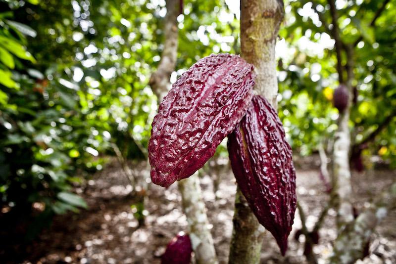 Cacao in Northern Peru - Tarapoto - Cacao Pods.jpg