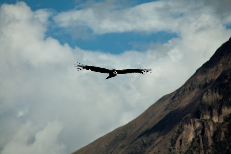 Colca Canyon is well-known for its condor population.