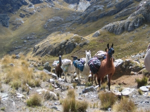 Olleros-Chavin Trek - Pack Llamas.jpg