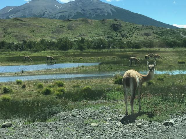 Girczyc-Blum x 1 - Torres del Paine Guanaco.JPG