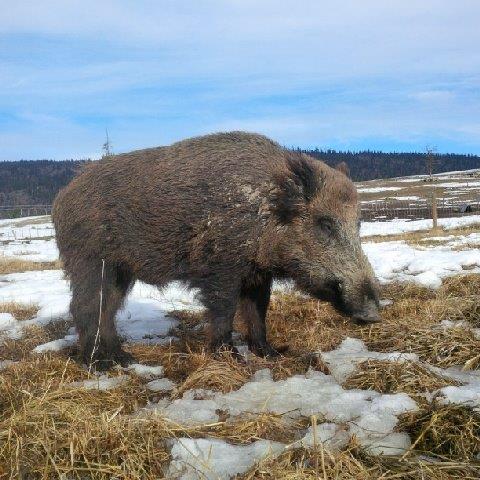 wild boar 2 .jpg
