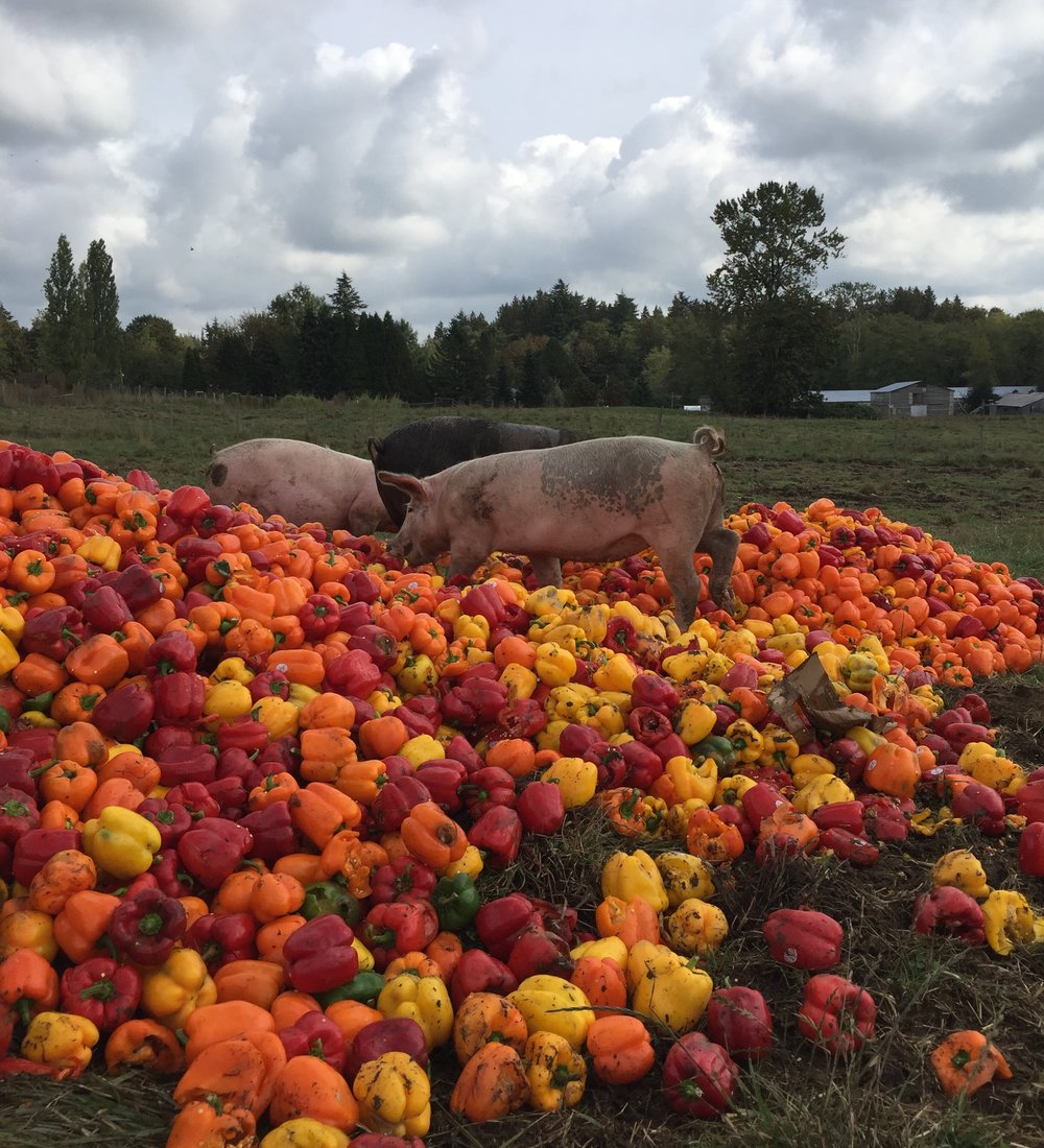 Local.Free Range.Pasture Raised.We are the largest farm, from Hope to Squamish, raising free range pastured raised pigs. -