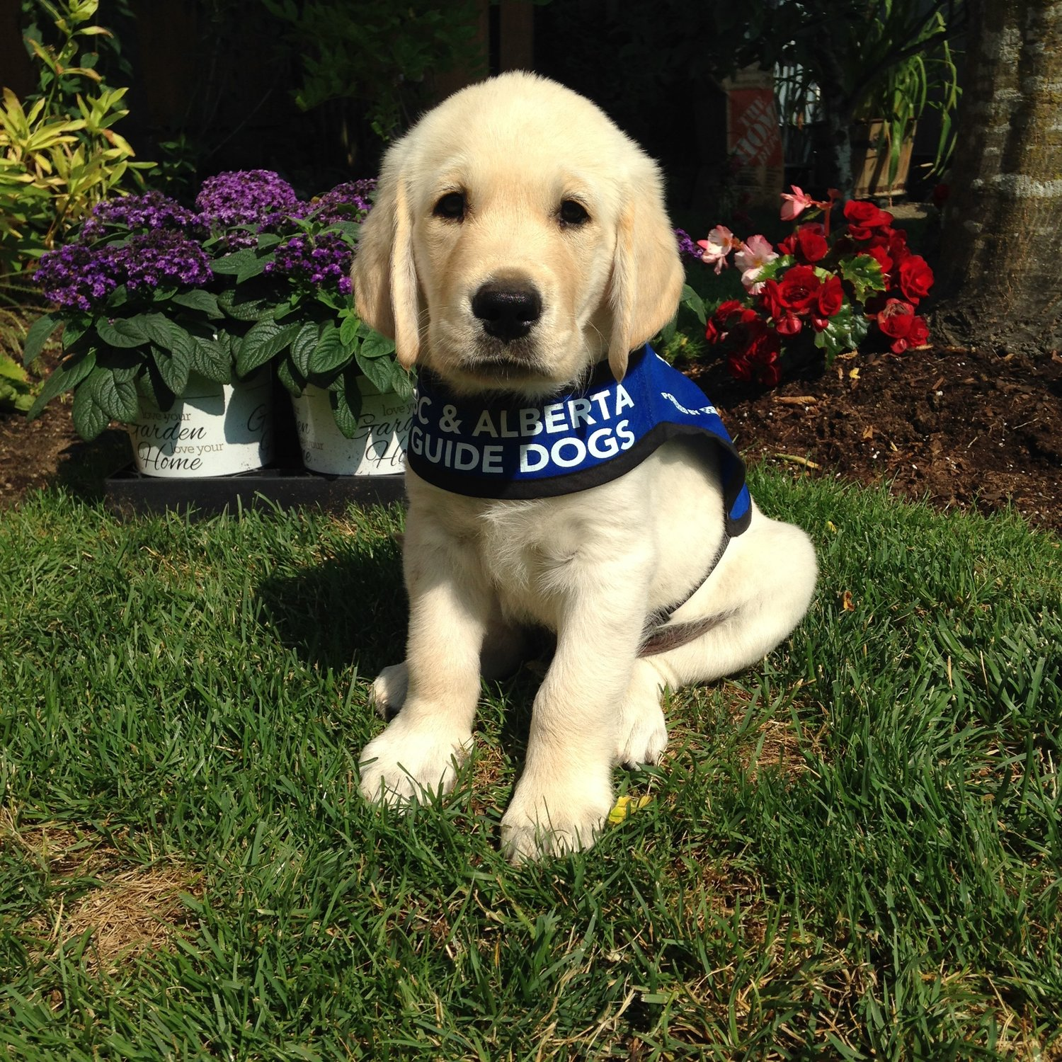 Sponsor a Guide Dog or Autism Support Puppy — shop moderndogmagazine com  Modern Dog Shop