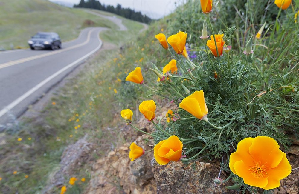Poppy flower, California, Marin County