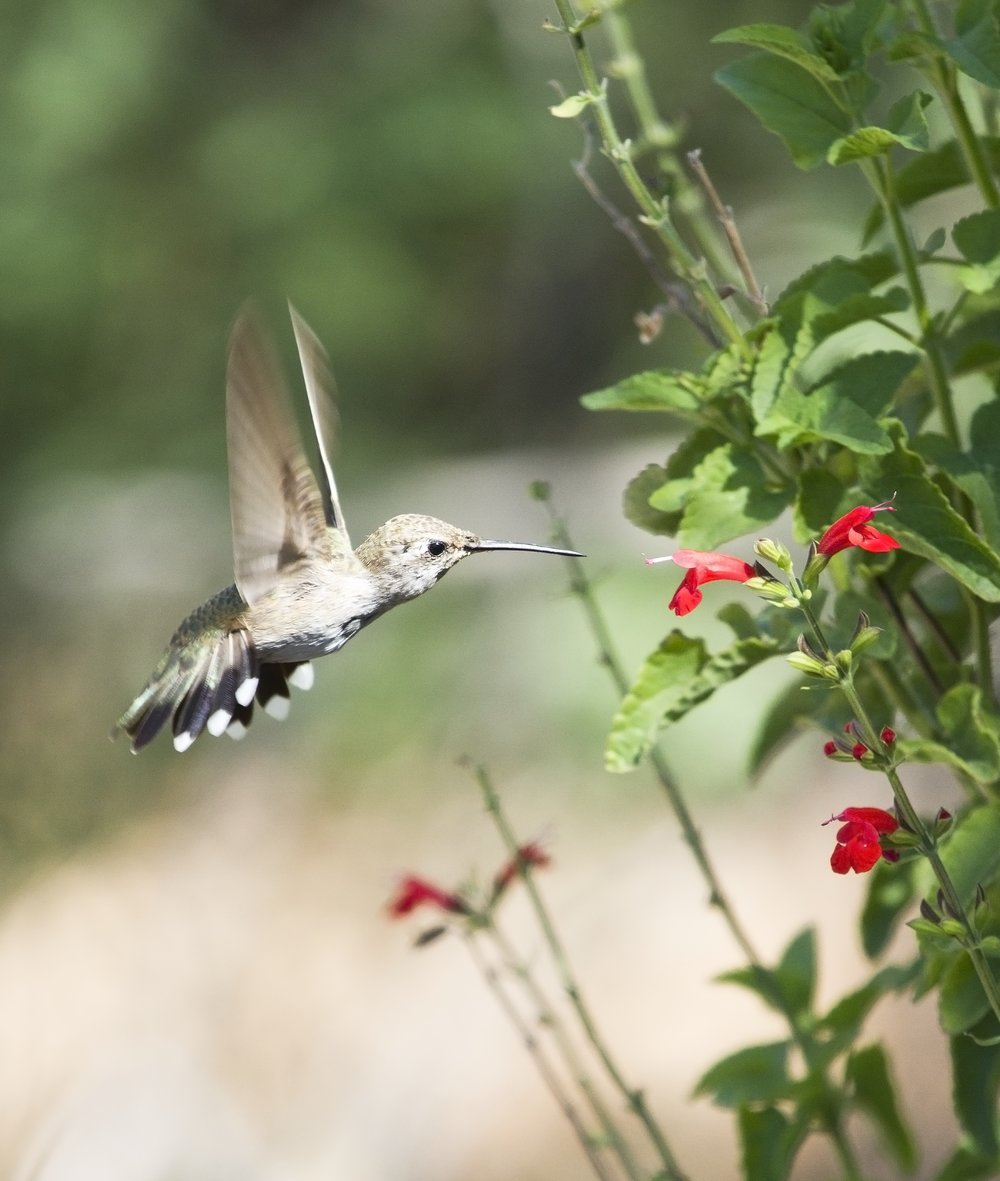 Hummingbird new .jpg