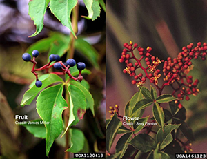 Virginia creeper (from DNR)