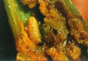 Larva of squash vine borer