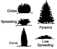 Common evergreen shapes