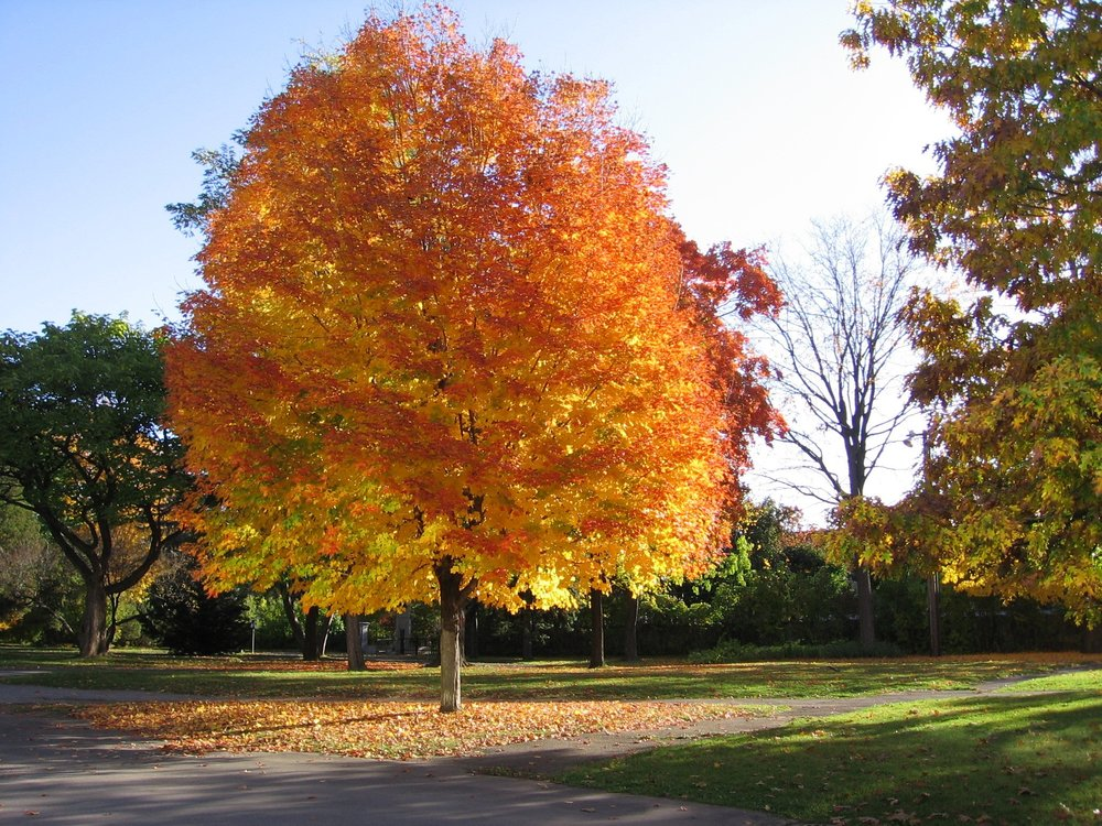 maple tree.jpg
