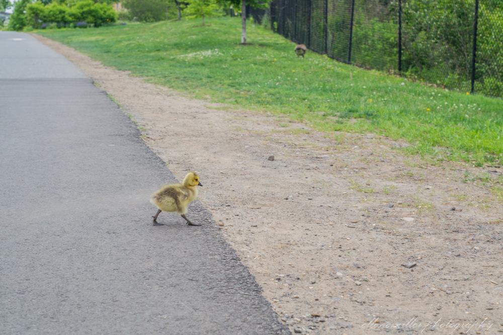 Baby Geese-Springtime20170512-3.jpg