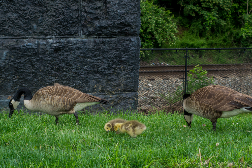 Baby Geese-Springtime20170512-5.jpg