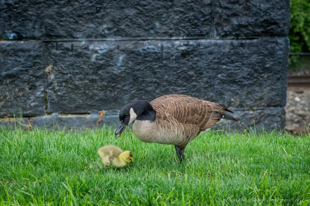 Baby Geese-Springtime20170512-9.jpg