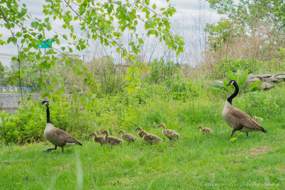 Baby Geese-Springtime20170512-13.jpg