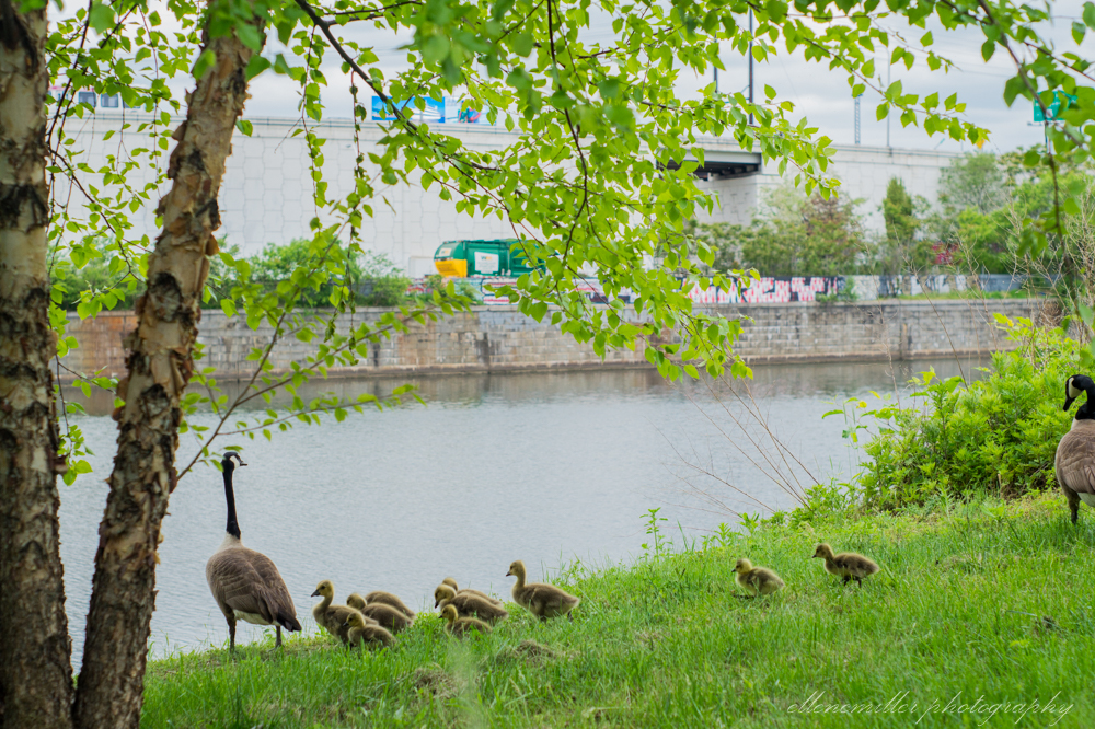 Baby Geese-Springtime20170512-15.jpg