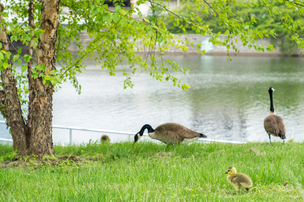 Baby Geese-Springtime20170512-16.jpg