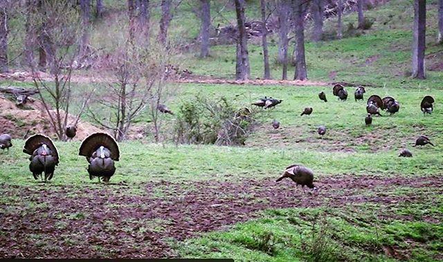 Kings of spring. #strutter #bossgobbler #turkeytime #turkeyhunting #hunting | #turkeyhunting | #bowhunting |#tennessee | #turkeyseason | #archery | #outdoors | #hunter |#firstlitehunting | #dirtbagdedicated | #sickforit | #hunt |  #bowhunter | #whitetaildeer | #camo | #bigbucks | #bigbuck | #outdoorlife | #gofartherstaylonger | #theartofhunting | #chasethemountain