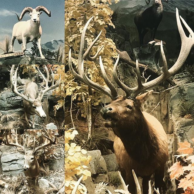 At Cabela's and working on life goals. Which one would you choose? #elkhunting #sheephunting  #whitetail or #muledeer ??