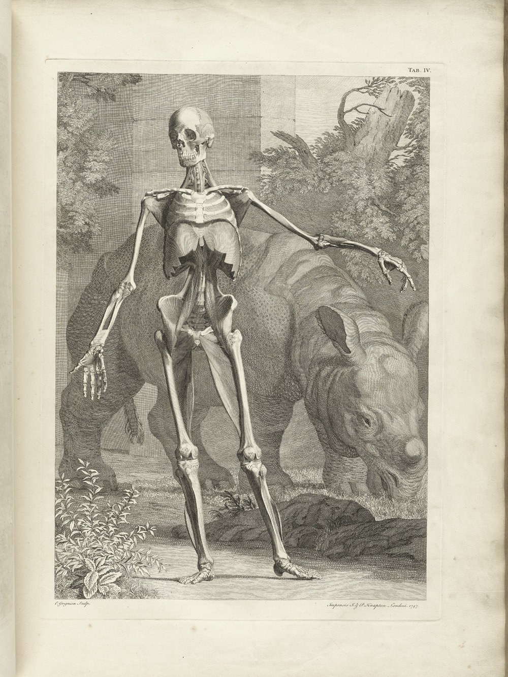 Albinus_skeleton_drawing.jpg