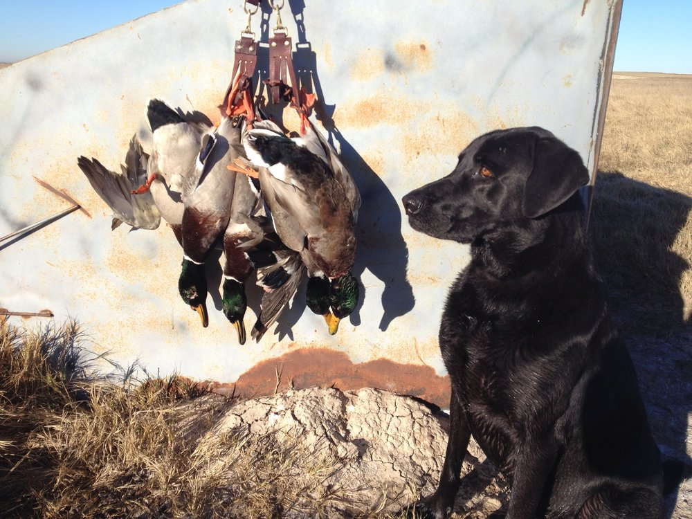 An individual daily bag limit of ducks for Colorado in the field.