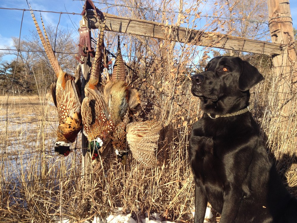 Hunting Attorney faithful sidekick Ruckus with a day's worth of pheasants.  Hunting and fishing are part of our heritage; Don't let a good day be ruined with a small mistake.  If you are charged with hunting violations, in Colorado, Kansas, or anywhere in the nation, it is imperative that you consult with a qualified, experienced, hunting attorney.   Click here to Contact Nate now .