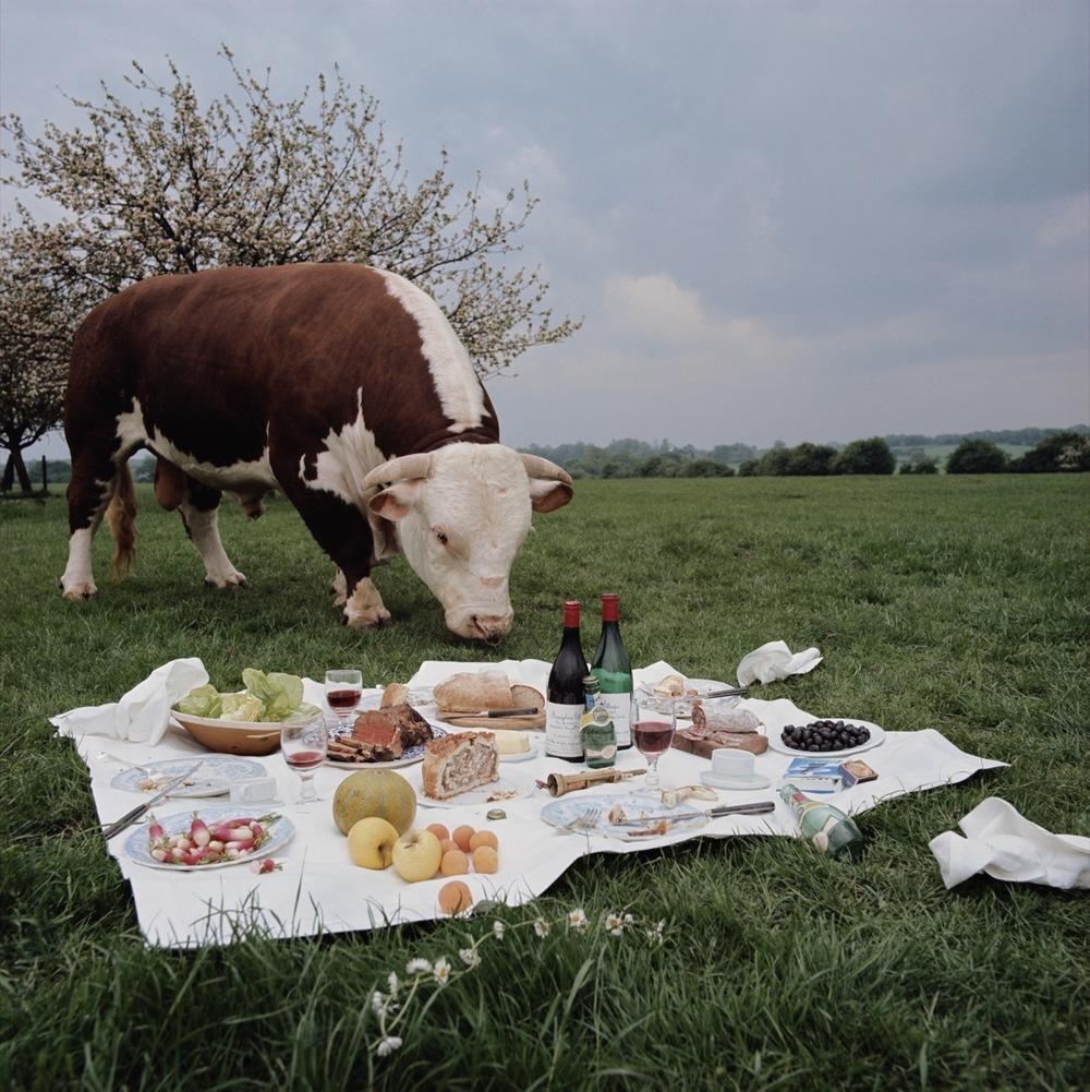 Bull And Picnic