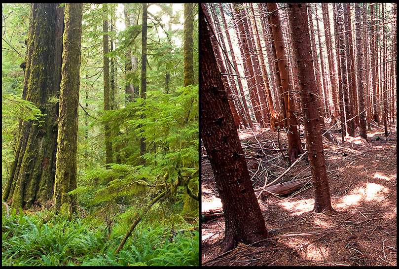These images by TJ Watt of the Ancient Forest Alliance illustrate the difference between an old-growth forest on the left and a second-growth tree plantation on the right. The old growth has a rich understory and a diversity of tree ages and species. The second growth is noticeably more barren than the old growth.