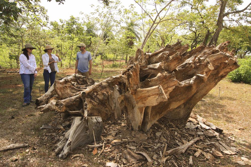 ceibo root sculpture in progress