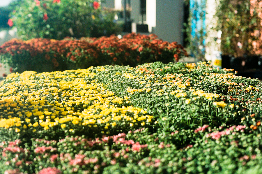 "19/365 - ""the fairest flowers o' the season"" - A Winter's Tale 50mm, f/3.2, 1/2500, expired Portra 160"