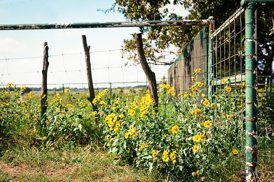 38/365 - Summer Sunflowers f/4.5, 1/800th sec., Ektar, eos3, 50mm