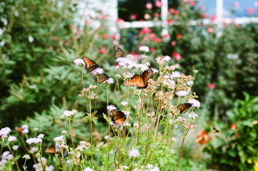 42/365 - Butterfly Garden  Canon eos3, 50mm, Fuji Pro 400h, f/3.2, 1/1600 sec.