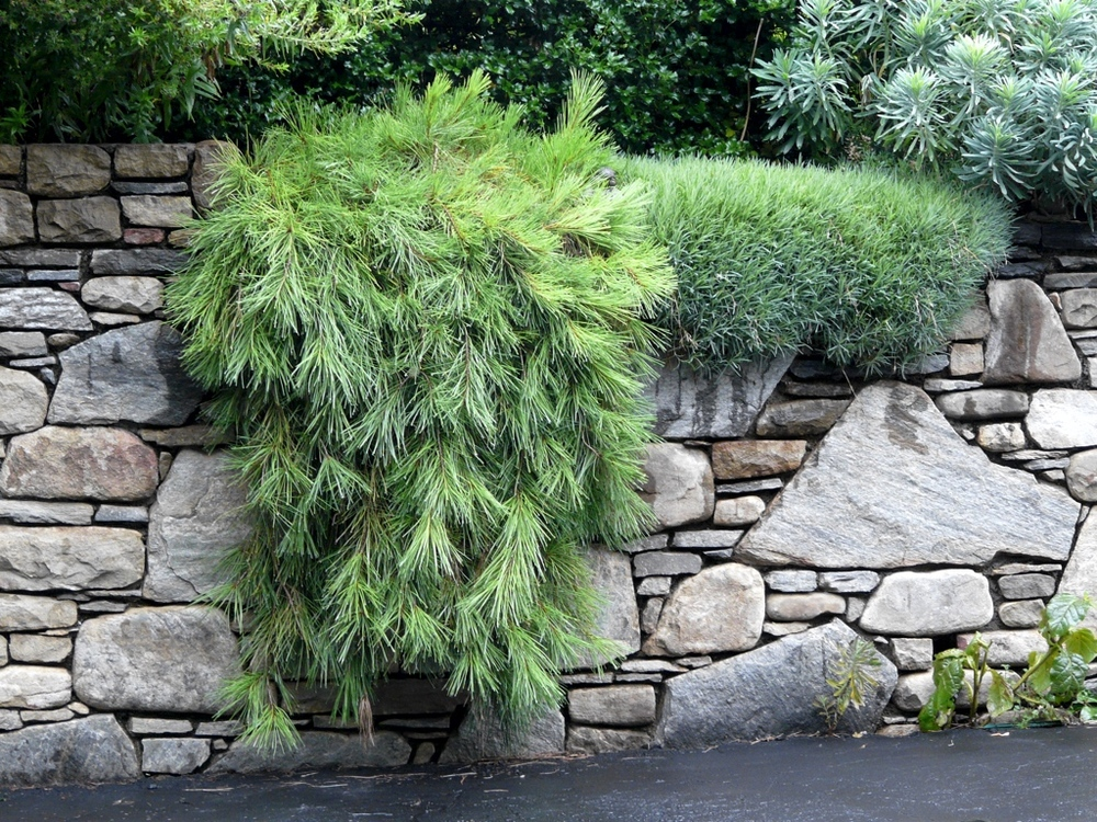 Landscape Patios Stone Wall Groundcovers