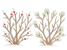 Heading back shrubs promotes branching and increases flower/fruit production.