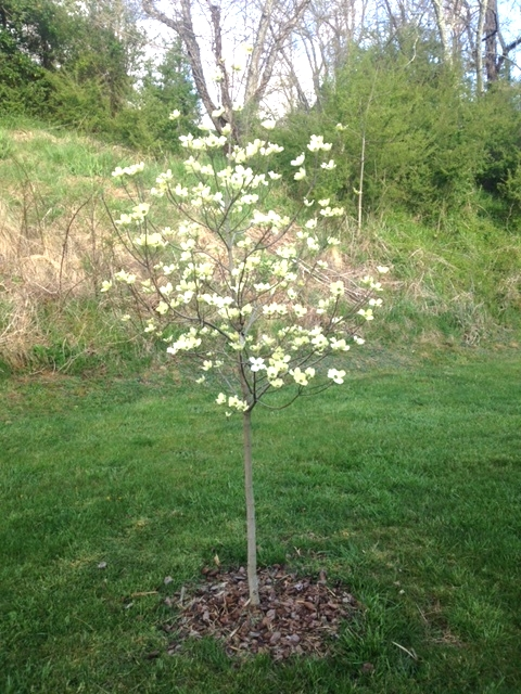 A new gardener who faithfully watered her 'Cherokee Princess' dogwood tree last season to get it established, decided to enjoy it for the day, and take a picture until next year.