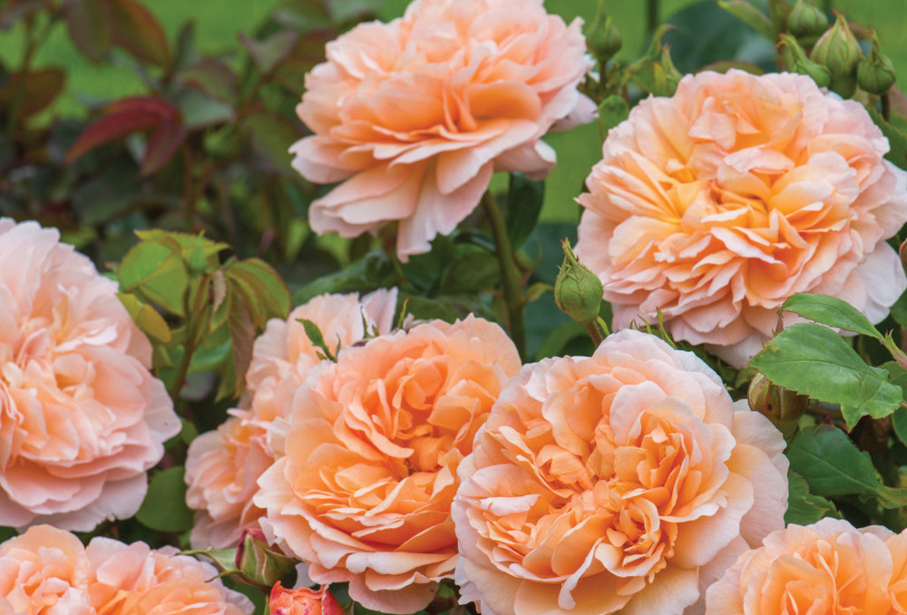 "David Austin English Rose | The Lady Gardener | Shrub rose | 3 1/2' to 4' tall, 2 1/2' wide | blooms 4"" across 