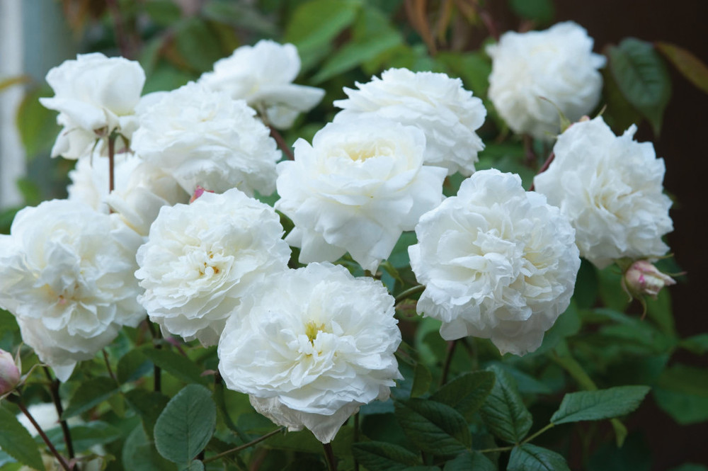 'Susan Williams-Ellis' | 135 petals per bloom | Blooms May to frost (pretty much non-stop) | Fragrant | 4' x 3' | Very winter hardy