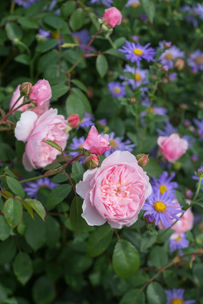 'Wisley 2008'|Shrub Rose|Height: 4' Width 3.5"