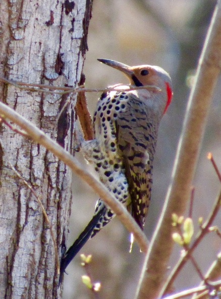 A Flicker woodpecker on a spring day. They like to nest in the cavities of trees.