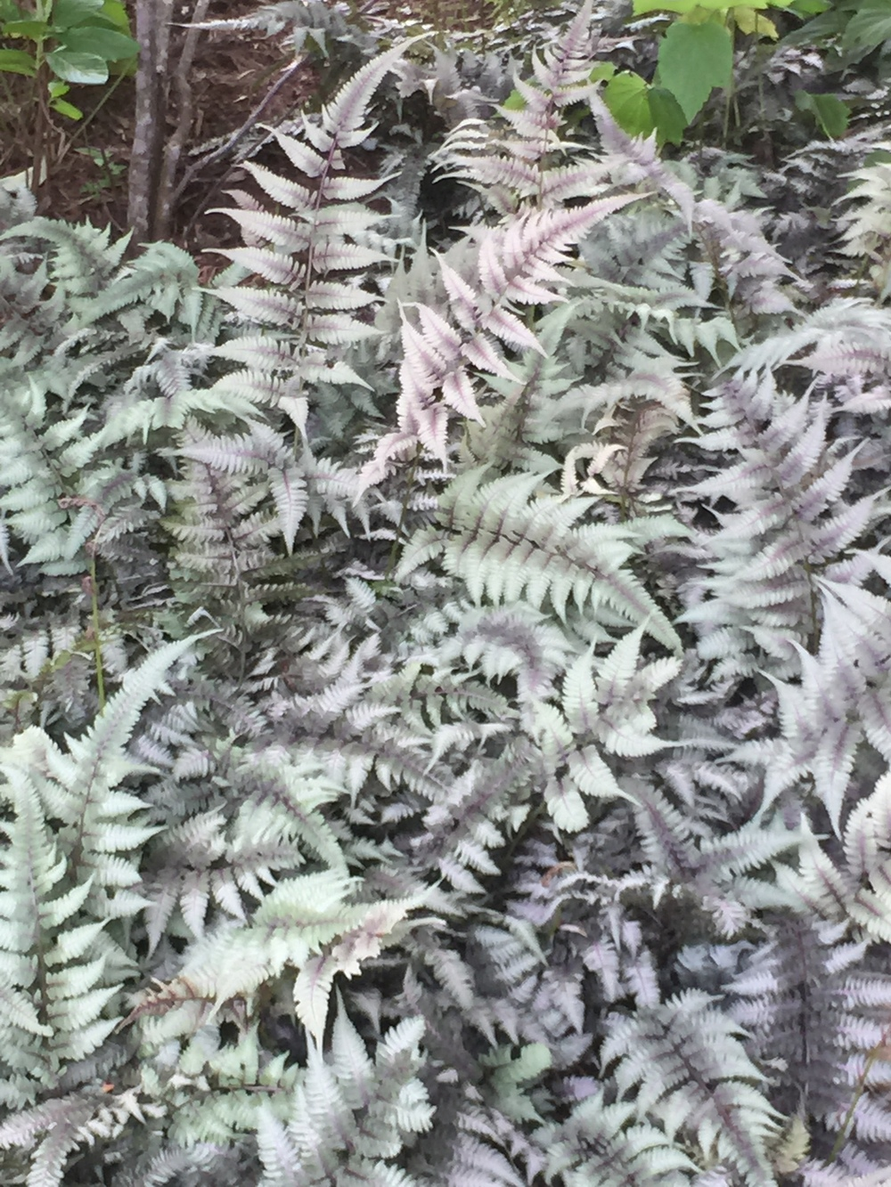 Japanese painted fern; foliage has a pinkish vein  that gives color all season.