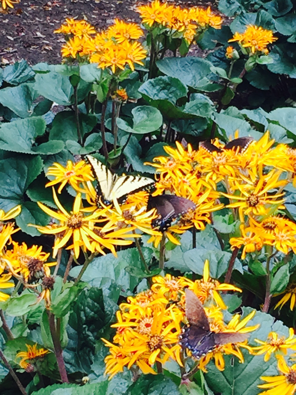 Butterflies on Leopard Plant.