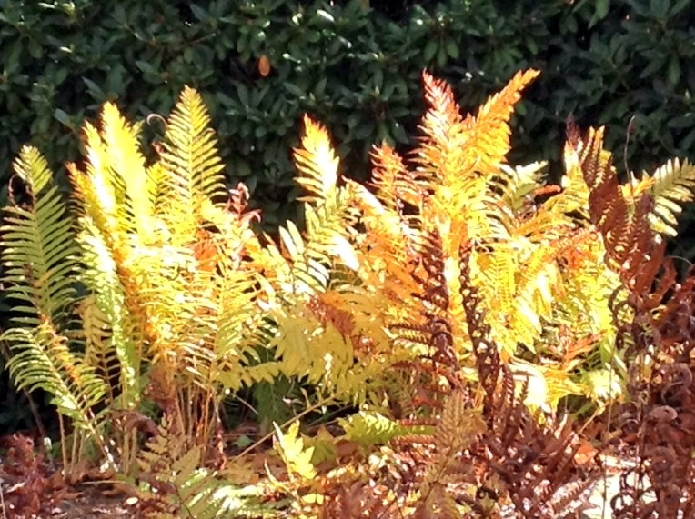 Cinnamon fern in fall