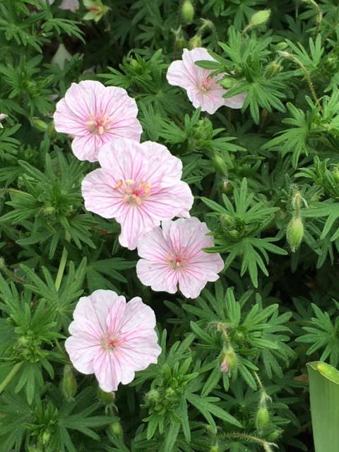 Bloody Cranesbill, there are so many varities of this plant, and all perform well in partial shade. They look best massed.