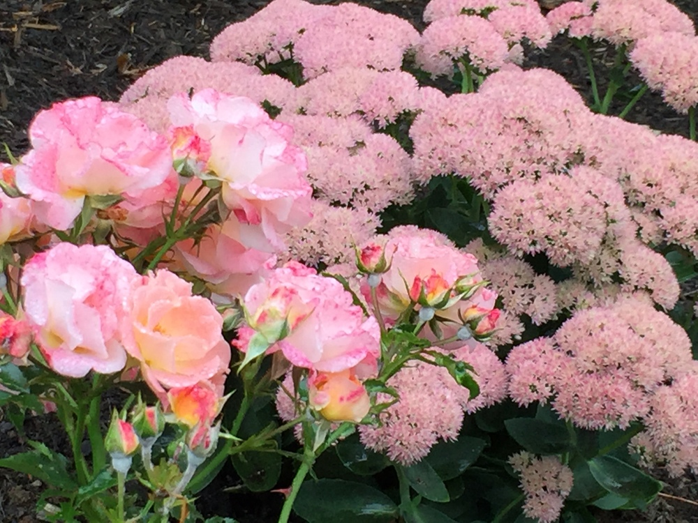 Peach drift roses with only a slightly different hue than it's partner plant of 'Autumn Joy' sedum in late summer.