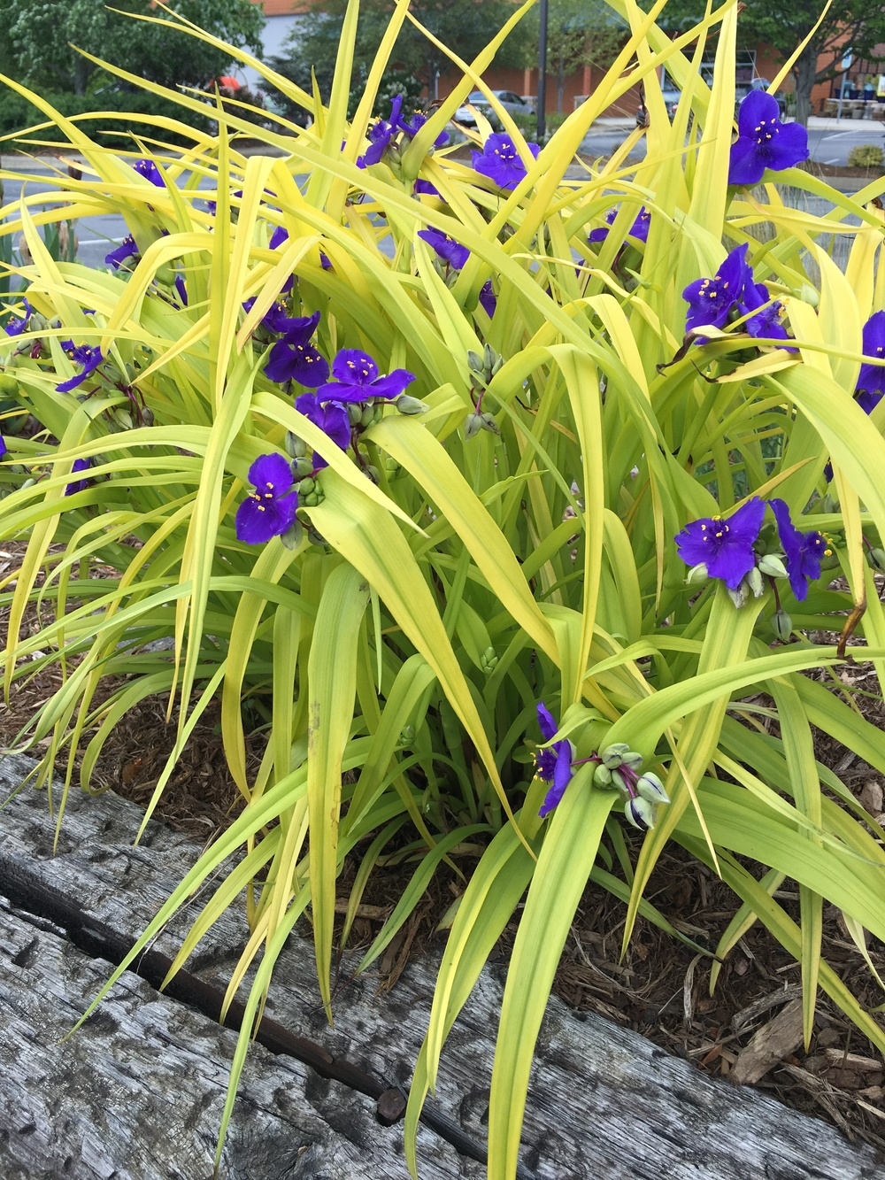 Other plants, like 'Sweet Kate' spiderwort, is the combination. The purple blooms against the chartreuse leaves does the combining work for you.