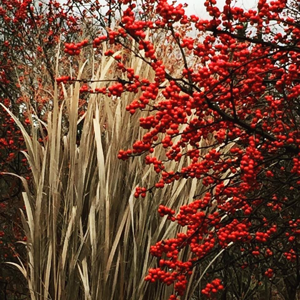 Deciduous holly (Winterberry) combines perfectly with 'Heavy Metal' panicum (switchgrass) for winter interest. Just don't cut down those grasses until spring.
