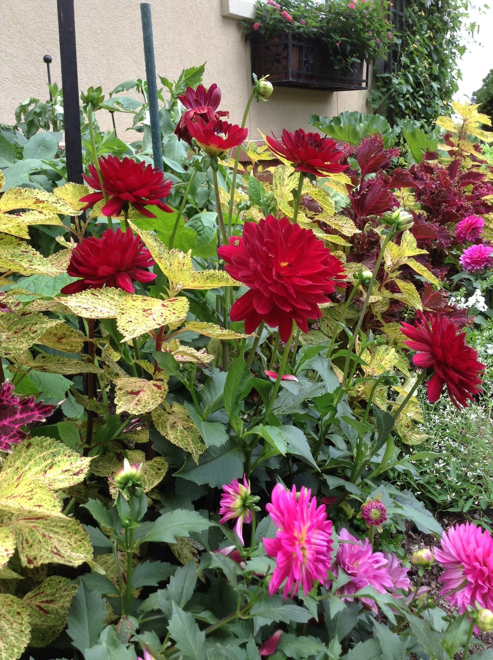 Red dahlias and gold coleus make a great late summer planting. (Barney Bryant garden, South Asheville.)