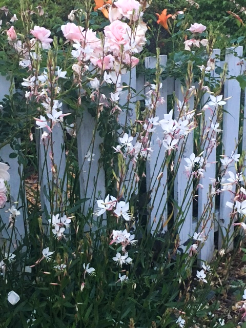 Gaura 'Whirling Butterflies' and 'New Dawn' climbing rose giving a sweet spring display.