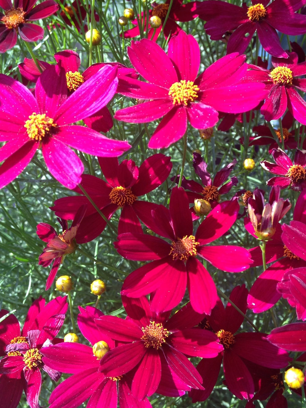 Coreopsis 'Red Satin' a great summer bloomer that blooms until fall.