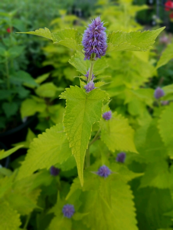 Agastache 'Golden Jubliee' a standout in the garden and among pollinators.