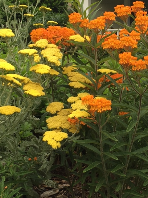 Butterfly weed & 'Moonshine' Yarrow